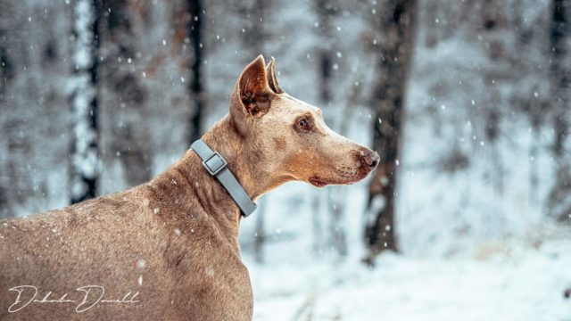 Took advantage of the snow for a little family photo sesh.   #family  #photography  #snowday  #snowphotography  #dogsofinstagram  #goldenretriever  #dobermansofinstagram